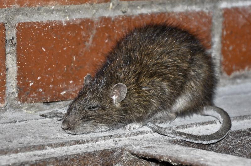 Rattus norvegicus BROWN RAT BRUINROT 184