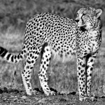 CHEETAH acinoyx jubatus, 2 YEARS OLD, THE MARSH, PHINDA.