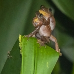greater-leaf-folding-frog
