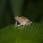 reed-frog